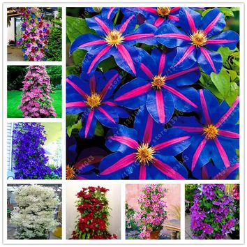 100 pcs/bag clematis plant, clematis seeds beautiful climbing plant flower seeds bonsai or pot perennial flowers for home garden