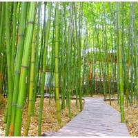 300PCS Chinese Garden Bamboo Se-eds  Easy To Grow Home & Living Garden Decorate