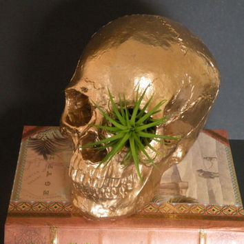 Halloween decor. Air plant living in large gold skull ornament. Great boyfriend gift. Buy 3 get 1 free.