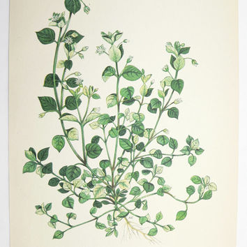 Chickweed Botanical Print 1923 Green Plant Vintage Art Print, Spring Gift Idea for Home, Cottage Garden Plant Herb, Mothers Day Gift