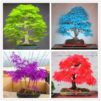 50 pcs/bag japanese bonsai maple tree Seeds mini bonsai tree for indoor plant can put on office desk free shipping