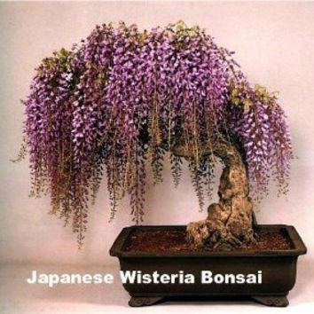 Blue Japanese Wisteria Vine 5 Seeds - Hard to Find!
