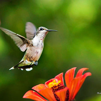 Shimmering Breeze Hummingbird, 8x10 Wall Art, Hummingbird Print, Bird Photography, Photo Print
