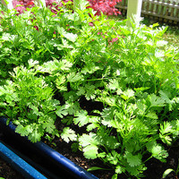 300 Wild Coriander Cilantro Caraway Vietnamese Asian Herb Vegetables Home Garden Plants Food