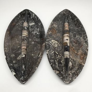 "2pcs,About 12.25""x5.4"" Fossils Orthoceras Ammonite Plates Dishes @Morocco,MF1348"