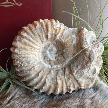 Agadir Ammonite