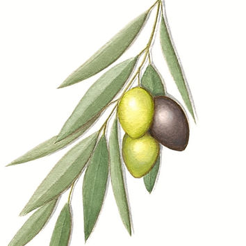 "Olive Branch Print - Fine Art Reproduction of Original Kalamata Olives Botanical Illustration, Food Art Giclee Print,  11"" X 8.5"""
