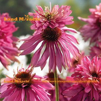 Heirloom 'Double Decker' Echinacea Flower Perennial Coneflower Seeds, 100 Seeds, Rare Garden Flowers Bonsai Plant-Land Miracle
