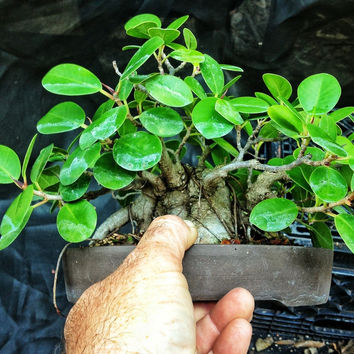 10 Green Island Fig Seeds, Ficus Microcarpa, Rare Exotic Seeds Annual Home Garden Balcony Indoors DIY Decor Feature Plant Houseplant Bonsai