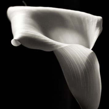 Black White Flower Photography Calla Lily Matted Print