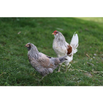 Americana Chickens, Sold in Quantities of 10 at Tractor Supply Co.
