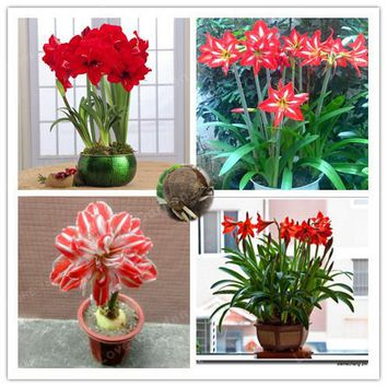 2 Bulbs Amaryllis Bulbs True Red Hippeastrum Bulbs Flowers(Not Seeds),Barbados Lily Potted Home Garden Balcony Plant Bulbous