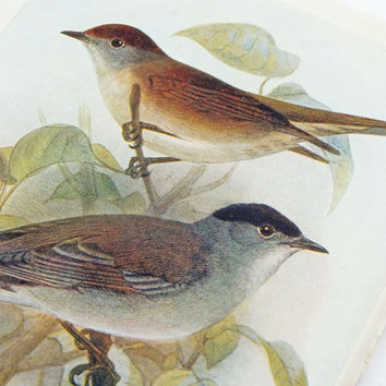 Blackcap Picture, Whitethroat Picture, Antique Bird Print, Vintage Bird Illustration, Unframed, Bird Picture