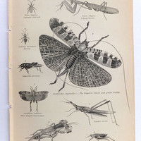 Bugs, Insects, Creepy Crawlies, Orthoptera, Black and White Print, Antique Picture