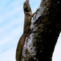 Tropical Lizard Photography Print