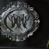 Batesi Angel Butterfly - Glass Shadow Frame Mirror Display - Museum Oddity Bug Insect Curiosities