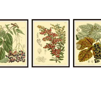 """Set of 3  Vintage Botanical Art Print Poster Reproductions """"Berries""""  Unframed 8 x 10"""" or 11 xz 14""""  Berry Art Print Posters"""