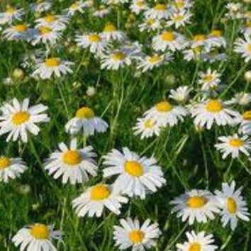German Chamomile Herb Garden Seeds From Cheapseeds On Etsy