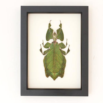 Real Walking Leaf Insect Display Taxidermy Phyllium giganteum