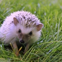 Petfinder Adoptable | Hedgehog | Hedgehog | Midvale, UT | Harriet