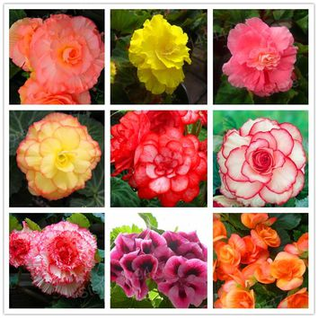 200pcs colorful Begonia Flower seeds Rare Rose Rieger Begonia flower Begonia Semperflorens Seeds bonsai plant home garden