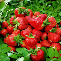 Four Seasons potted strawberry seeds perennial flower seeds results balcony flower seeds 500 seeds pack of fruits and vegetables