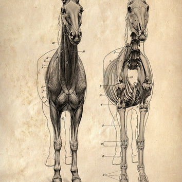 8x10 Vintage Science Animal Study Poster. Horse Anatomy. CP-AN007