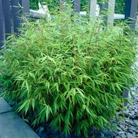 Sunset Glow Bamboo at Brighter Blooms Nursery