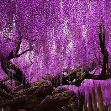 Hot Sale Rare Purple Wisteria Flower Seeds for DIY home & garden plant Wisteria sinensis ( Sims ) Sweet seed 15PCS
