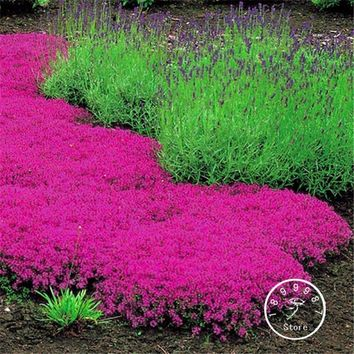 Loss Promotion! 100 Pieces/Lot Creeping Thyme Seeds - Perfect for flower border, rock gardens, walkways, patios and containers