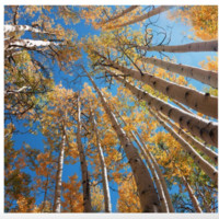 Aspen Trees Against The Sky In Crested Butte, Colorado for #Society6 by OLenaArt @LenaOwens