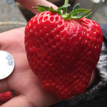 500x Rare Super Big GIANT STRAWBERRY Seeds, Largest Fruit, Everbearing