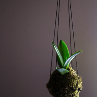 Kokedama Smooth Agave, Dwarf Century Plant - Agave String Garden - Moss Ball - Bonsai Plant - Easy and Fun to Grow - Soft Leaf Houseplant