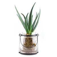 Green Aloe Plant in Lantern Glass Container | Hobby Lobby | 755835
