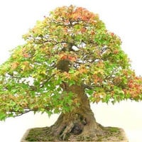 Bonsai Seeds Trident Maple Acer buergerianum Tree Seed