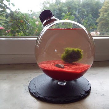 Marimo Moss Ball in Light Bulb Terrarium, Marimo Moss Ball Home Decor, Light Bulb Decor, Marimo Moss Aquarium