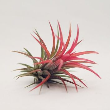 Hinterland Trading Air Plant Red Ionantha FUEGO Beautiful Little Tillandsia Houseplant Easy Care Airplant