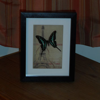 Small Striped Swordtail mounted in a real wood  shadow box frame