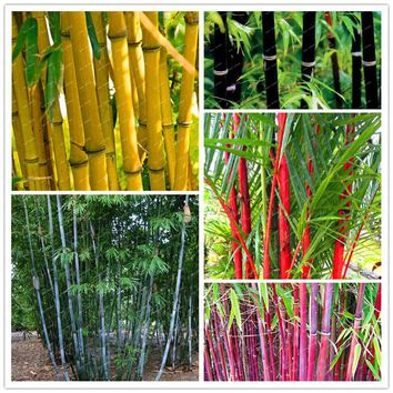 10 pcs\bag hybrid  pot , rare bamboo seeds,clean air, decoration house, Pink,red,yellow,green colors,bonsai potted plants