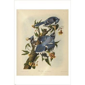audubon - BLUE JAY bird poster COLORFUL WILDLIFE collectors FINE ART 24X36