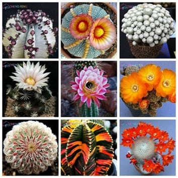 100pcs Exotic Cactus bonsai Japanese Rare Succulents plants Flower Indoor Plantas Perennial Flowers Garden
