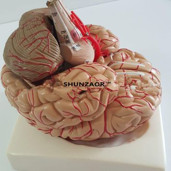 PVC  big brain anatomy model brain model arteries Medical Anatomical Brain Model, with Arteries, 9 Parts,with nummber