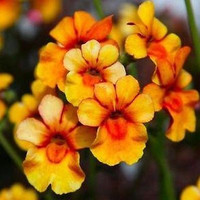 Nemesia Orange Prince Flower Seeds (Nemesia Strumosa) 200+Seeds