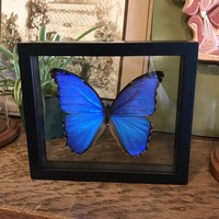 Mounted Morpho Didius Butterfly