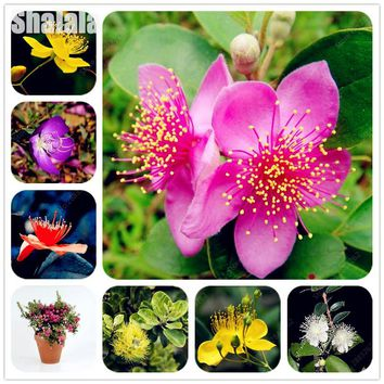 100 Pcs Mix Colors Myrtle Seeds Outdoor Evergreen Trees Perennial Flower Shrub Seeds Edible Fruits Medicinal Plants