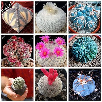 10 Pcs/Bag Real Mini Cactus Seeds, Rare Succulent Perennial Herb Plants,Bonsai Pot Flower Seeds, Indoor Plant Easy Grow In Pots