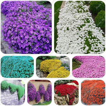 200 Creeping Thyme Seeds Flower Seeds ROCK CRESS GROUND COVER Seeds Carpet Evergreen Plant Easy to Grow for Garden Lawn