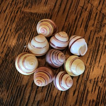 Striped Land Snail Shell