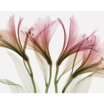 Alstromeria Giclee Print by Steven N. Meyers at Art.com