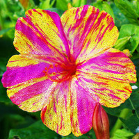 20 Heirloom Marvel of Peru  - Four O'Clock Flower Seeds (Mirabilis Jalapa) Unique Flowers, Color Striped Mixed Flowers
